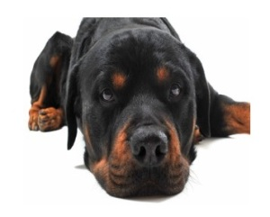 Rottweiler-Anxiety-Problems
